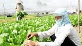 Nông dân trồng rau sạch tại xã nông thôn mới Tân Thông Hội (huyện Củ Chi).Ảnh:  CAO THĂNG