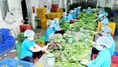 Chế biến rau tại HTX Phước An Ảnh: CAO THĂNG