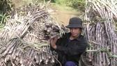 Nhiều hộ trồng mía ở Hậu Giang vụ này chịu lỗ khoảng 10-20 triệu đồng/ha do giá thấp và khó tiêu thụ