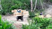 Lâm tặc ngang nhiên chở gỗ lậu sau khi đốn hạ