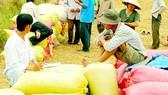 Thương lái thu mua lúa của nông dân ĐBSCL, phục vụ xuất khẩu