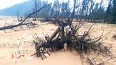 Xác xơ rừng phi lao phòng hộ ven biển ở thị trấn Thiên Cầm