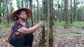 Nhiều vườn tiêu bị nhiễm bệnh tại xã Đắk Ơ
