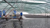 Bạc Liêu đang là địa phương đi đầu ứng dụng công nghệ cao vào nuôi tôm