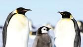 Hàng ngàn chim cánh cụt chết vì biến đổi khí hậu