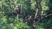 Voọc chà vá chân nâu tại Khe Nước Trong  thuộc bộ ảnh của Trung tâm bảo tồn thiên nhiên Việt