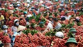 Vải thiều Lục Ngạn đủ điều kiện xuất khẩu vào thị trường Mỹ và Trung Quốc