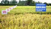 Sóc Trăng khảo nghiệm giống lúa chịu mặn ở vùng tôm - lúa