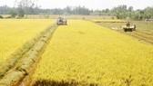Sản xuất lúa sạch, lúa hữu cơ là hướng đi triển vọng và bền vững