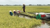 Người dân Long An thu hoạch lúa chạy lũ