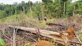 Điều tra vụ chặt 2,5ha rừng phòng hộ