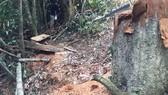Cách chức đội trưởng bảo vệ rừng để lâm tặc chặt 24 cây gỗ