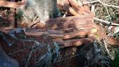 Ngang nhiên phá rừng Phong Nha - Kẻ Bàng
