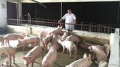 Mô hình chăn nuôi và chuyển giao heo giống tại HTX Tiên Phong
