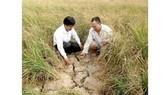 Người dân ấp Vườn Tre, xã Khánh Lộc, huyện Trần Văn Thời, tỉnh Cà Mau gặp nhiều khó khăn trong trồng lúa do khô hạn. Ảnh: TRÀNG DƯƠNG