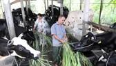 Một hộ nuôi bò sữa tại Củ Chi