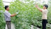 Các kỹ sư nông nghiệp trẻ đang chăm sóc dưa lưới trong nhà màng