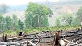 """Làm rõ vụ hơn 43ha rừng bị """"lâm tặc"""" triệt hạ"""