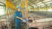 Nuôi heo VietGAP tại Xí nghiệp nuôi heo Đồng HIệp, Củ Chi, TPHCM   Ảnh: Cao Thăng