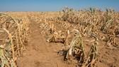 El Nino đe dọa nghiêm trọng khu vực Trung Mỹ