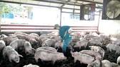 Đàn heo của Sagrifood được nuôi bằng thức ăn có pha thảo mộc thiên nhiên