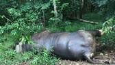 Con bò tót chết trong khu bảo tồn tại Đồng Nai là do ô tô tông