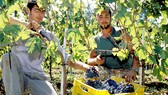 Nông nghiệp Italy thiệt hại nặng nề vì nắng nóng