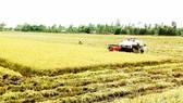 ĐBSCL: Giá lúa bắt đầu nhích lên