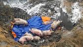 Thị xã Phú Mỹ và huyện Xuyên Mộc (Bà Rịa - Vũng Tàu):  Bùng phát dịch lở mồm long móng trên heo