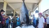 Ngư dân Phú Yên câu được cá ngừ đại dương gần 400kg