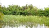 Hơn 70% số hộ dân Xóm Gò sống bằng nghề trồng cây bồn bồn