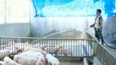 Các trang trại chăn nuôi tại Quảng Ngãi tăng cường vệ sinh chuồng trại, khử trùng phòng dịch. Ảnh: NGUYỄN TRANG