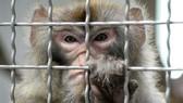 Tạo ra khỉ mang gien não người
