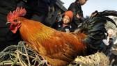 Philippines confirms avian influenza strain on Luzon island