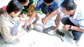 Cán bộ trung tâm trong một lần chăm sóc một cá thể vượn bị thương