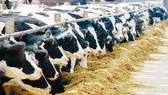 Thiếu thức ăn, nhiều nông dân phải đưa bò sữa đi mổ thịt