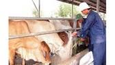 Cấp hơn 40.000 liều vaccine tiêm phòng dịch lở mồm long móng