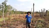 Người dân xã Ia Blứ trồng chanh dây do Công ty Tuấn Đại An cung cấp giống nhưng không có quả, buộc dân phải chặt bỏ