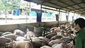 Xây dựng chuỗi sản xuất thịt heo xuất khẩu