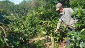 Tây Nguyên tái diễn nạn chặt phá cây trồng