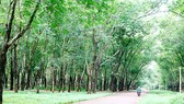 Thị trấn Lộc Ninh phủ một màu xanh cao su