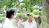 Mô hình trồng bưởi hồ lô ở Hậu Giang cho thu nhập cao    . Ảnh: VĨNH TƯỜNG