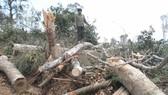 Rừng tự nhiên của Công ty Lâm nghiệp Quảng Tín (Đắk Nông) bị chặt phá. Ảnh: CÔNG HOAN