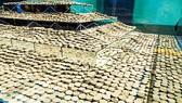 Săn kho báu dưới đáy biển - Kỳ 3: Dự án Thiên Nga Đen