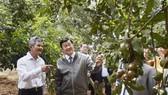 Nguyên Chủ tịch nước Trương Tấn Sang tại thực địa vườn cây macca của ông Lê Đức Ba ở Đơn Dương, Lâm Đồng