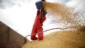 Trung Quốc đang tìm kiếm những nguồn cung cấp đậu tương khác để thay thế Mỹ. (Ảnh: Reuters)