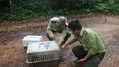 Hai cá thể tê tê vàng và mèo rừng được thả về Vườn quốc gia Cát Tiên. Ảnh: C.T