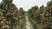 Vườn quất của người dân xã Hợp Tiến bị hư hại nặng do bị kẻ gian phun thuốc diệt cỏ