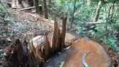 Rừng ở huyện Kon Rẫy bị cưa hạ