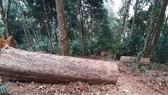 Kiểm tra hiện trường vụ gỗ bị đốn hạ tại Kon Tum